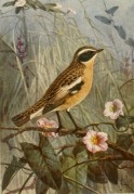 A portfolio illustration of a Whinchat