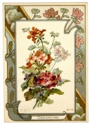 Planting instructions for Geraniums
