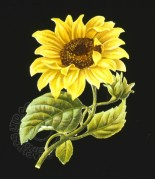 A Sunflower on a Black Background