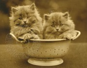 Two kittens in a colander