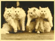 Four white cats