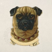 Portrait of a Pug dog