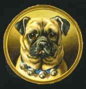 Framed portrait of a Pug dog