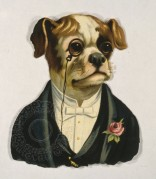 A well dressed Boxer dog