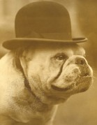 Bulldog in a bowler hat
