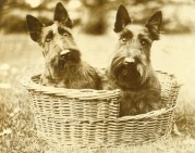 Two Scottish Terriers in a basket