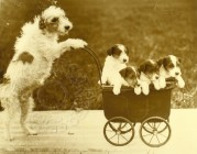 A Fox Terrier pushing four puppies in a pram