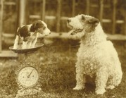 A Wire Fox Terrier weighing a puppy