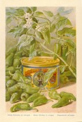 Advert for Cirio Green Chillies in Vinegar